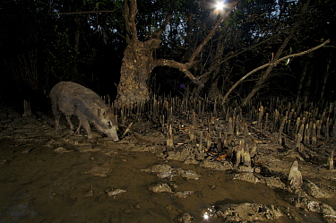 A wild boar (Sus scrofa) feeding in Sonneratia mangrove forest at night at low tide. Sundarbans Forest, Khulna Province, Bangladesh.