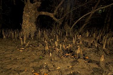 Leopard Cat {Prionailurus bengalensis bengalensis} walking through the mangroves at night. Endangered Species, Sundarban Mangroves, Bangladesh.