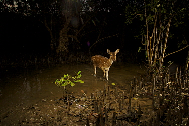 Axis / Chital deer {Axis axis) in Sonneratia mangrove forest at night, Sundarban Forest, Khulna Province, Bangladesh.