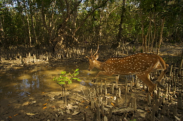 Axis / Chital deer {Axis axis) crossing Sonneratia mangrove forest, Sundarban Forest, Khulna Province, Bangladesh.