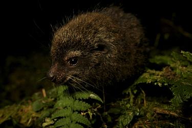 Western Tree Hyrax (Dendrohyrax dorsalis) juvenile. Bioko Island, Equatorial Guinea.