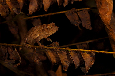 Spectral Pygmy Chameleon (Rhampholeon spectrum spectrum) camouflaged in vegetation, Bioko Island, Equatorial Guinea, January