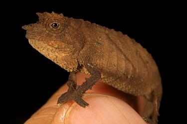 Spectral Pygmy Chameleon (Rhampholeon spectrum spectrum) sitting on figure tip to show small size, Bioko Island, Equatorial Guinea. January 2008