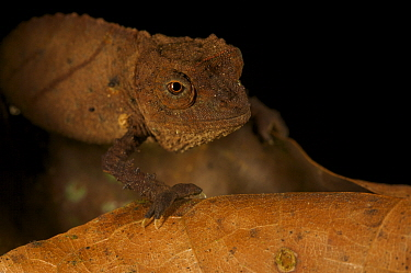 Spectral Pygmy Chameleon (Rhampholeon spectrum spectrum) Bioko Island, Equatorial Guinea. January