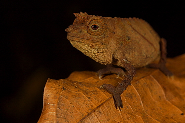 Spectral Pygmy Chameleon (Rhampholeon spectrum spectrum) Bioko Island, Equatorial Guinea, January