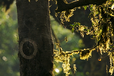 A spider web covered with morning dew and moss covered branches backlit, Bioko Island, Equatorial Guinea, January 2008