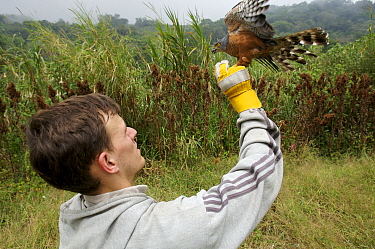 Research scientist, Jake Owens, releasing after measuring a mist-netted African Goshawk {Accipiter tachiro} Bioko Island, Equatorial Guinea, Rapid Assessment Visual Expedition, International League of...