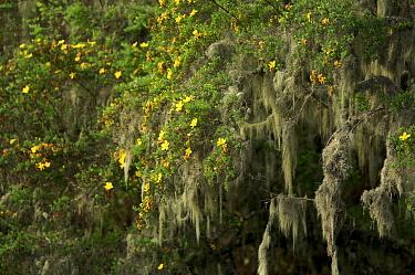 Flowering {Hypericum sp} in high montane rainforest on Pico Basile, approx 2700 m altitude, Bioko Island, Equatorial Guinea, January 2008