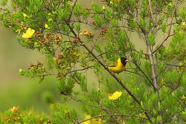 Oriole Finch (Linurgus olivaceus) perched in flowering bush, Bioko Island, Equatorial Guinea.
