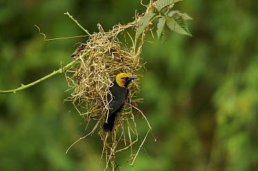 Black-billed Weaver (Ploceus melanogaster) weaving a nest, Bioko Island, Equatorial Guinea, January