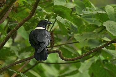Pied Crow (Corvus albus) perched in tree, Bioko Island, Equatorial Guinea, January