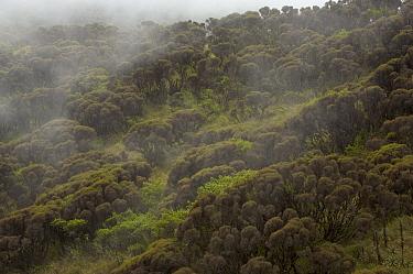 High montane vegetation on Pico Basile at 2700 m altitude, Bioko Island, Equatorial Guinea, January 2008
