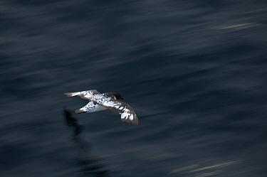 Cape / Pintado petrel (Daption capense) in flight over the ocean. Antarctica, January