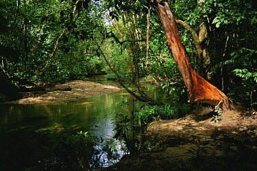 A rainforest river in Gunung Palung National Park with Tristania trees growing on the banks. Borneo, Indonesia.