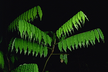 A rainforest understory shrub's leaves droop at night. Danum Valley Conservation Area, Sabah, Malaysia, Borneo. Sequence 1/2