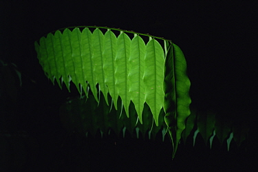 A rainforest understory shrub's leaves droop at night. Danum Valley Conservation Area, Sabah, Malaysia, Borneo. Sequence