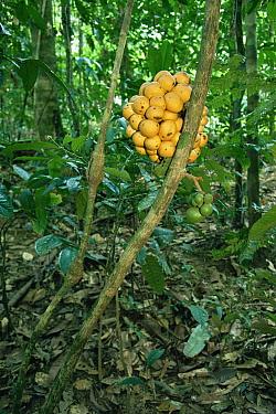 Fruiting vine (Uvaria sp) in the lowland rainforest, Gunung Palung National Park, Borneo, West Kalimantan, Indonesia.