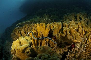 Banded Sea Krait (Laticauda colubrina) swimming through coral reef, Raja Ampat Islands, Indonesia, April 2007