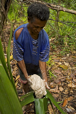 A man processing 'Sago' the primary staple food on Waigeo Island. First the pulp of the Sago Palm tree is gathered. The starch is then extracted by water filtered through a sieve of coconut palm leaf...