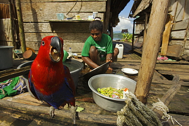 A pet female Eclectus Parrot (Eclectus roratus) keeps a woman company as she does the washing in Kabilo Village, Mayalibit Bay. This is an area of Waigeo Island visited by Alfred Russel Wallace in the...