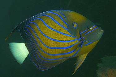 Blue Ring Angelfish (Pomacanthus annularis) portrait, Raja Ampat Islands, West Papua Province, Indonesia. April 2007