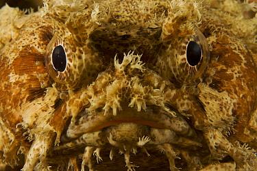 Banded Toadfish (Halophryne diemensis) head portrait, Kri Island vicinity. Raja Ampat Islands, Indonesia, May 2007