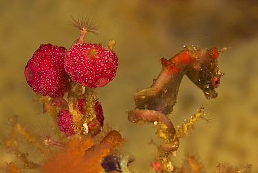 An unnamed species of Pygmy Seahorse (Hippocampus sp.) Vicinity of Gam Island, West Papua, Indonesia, May 2007