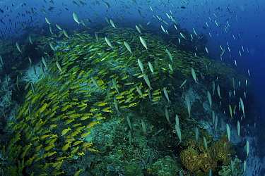 A school of Fusiliers (Caesionidae) pass a large school of Snappers (Lutjanidae) over a coral reef in the Raja Ampat Islands, West Papua, Indonesia, May 2007