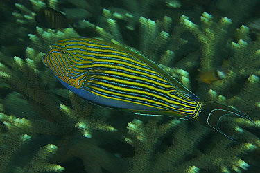 Striped Surgeonfish (Acanthurus lineatus) swimming over hard coral reef, Raja Ampat, Indonesia, May 2007