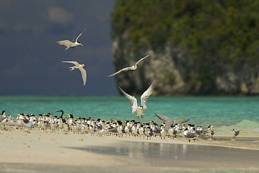 Terns (Sterninae) and a Reef Heron rest on a sand islet near Kri Island in the Raja Ampat Islands, Indonesia, May 2007