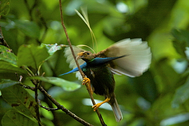 Wallace's Standardwing Bird of Paradise (Semioptera wallacei) male at his display site in the rainforest canopy, Halmahera, Indonesia.