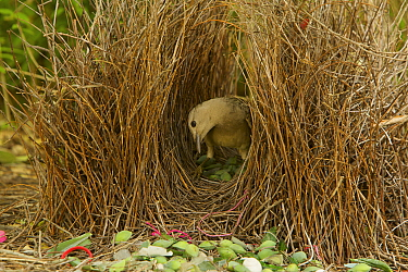 Great Bowerbird (Chlamydera nuchalis) male in his bower. The bower has various green and white and some red decorations including green fruits and various manmade objects. Located on the campus of Jam...