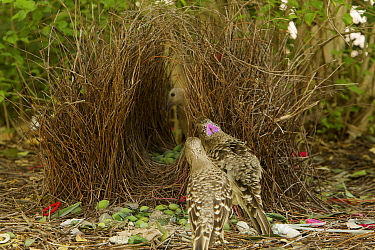 Great Bowerbird (Chlamydera nuchalis) male in front of his bower bowing and showing his pink crest to encourage the female (visible through the bower) to enter it. A young male watches. Bower is deco...
