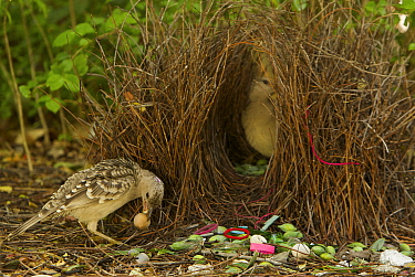 Great Bowerbird (Chlamydera nuchalis) male displaying to a female who has entered his bower. He holds one of his prize decorations (a brown fruit) in his beak. The bower has green and white and some r...