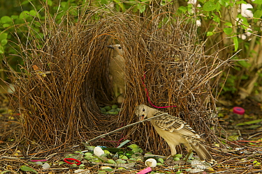 Great Bowerbird (Chlamydera nuchalis) male displaying to a female who has entered his bower. He holds one of his prize decorations (a piece of grey plastic) in his beak. The bower has green and white...