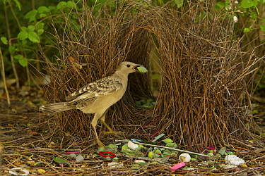 Great Bowerbird (Chlamydera nuchalis) male poses holding a green fruit decoration in his beak to lure a nearby female to his bower. The bower has green and white and some red decorations including gre...