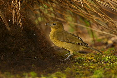 Male Vogelkop Bowerbird (Amblyornis inornata) at a new bower which he is constructing, working on the matt of rootlets around the base of the maypole in the center of the bower. West Papua, Indonesia,...