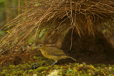 Male Vogelkop Bowerbird (Amblyornis inornata) at a new bower which he is constructing. West Papua, Indonesia, Dec 2008
