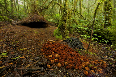 Bower of a Vogelkop Bowerbird (Amblyornis inornata) decorated with large spread of red/orange colored fruits of a type eaten by cassowaries, and a pile of black fungi. West Papua, Indonesia, Dec 2008