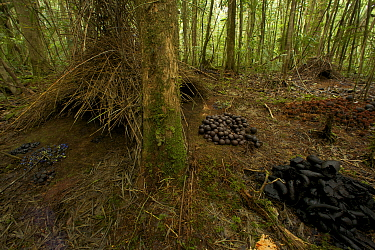 Bower of the Vogelkop Bowerbird (Amblyornis inornata) decorated with piles of acorns, black fungi, and orange fungi. A crude smaller bower is visible to the right of the main one, which is possibly a...