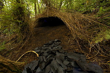 Bower of a Vogelkop Bowerbird (Amblyornis inornata) decorated with black leaves. Indonesia, Dec 2008