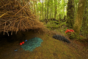 Bower of a Vogelkop Bowerbird (Amblyornis inornata) decorated with a pile of blue colored rotting wood, a blue mushroom, blue berries, orange fruits, and piles of black fungi and orange pandanus flowe...