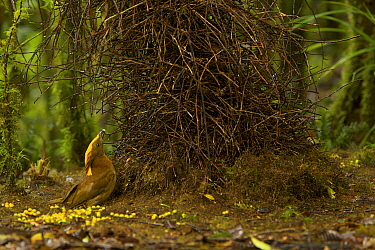 Golden-fronted Bowerbird (Amblyornis flavifrons) male at his bower, holding a blue berry and displaying. Papua, Indonesia, June 2007
