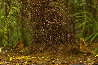 Golden-fronted Bowerbird (Amblyornis flavifrons) male at his bower, displaying to another male who is behaving like a female by keeping on the opposite side of the bower. Papua, Indonesia, June 2007