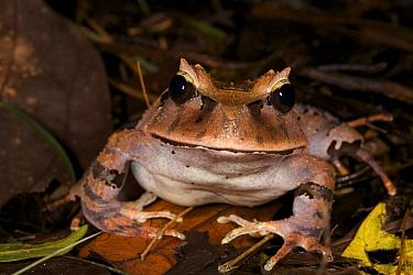 Portrait of Arfak Cannibal Frog (Lechriodus platyceps) found in the Foja Mountains. Foja Mountains, Papua, Indonesia, 2007.
