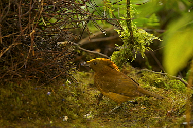 Golden-fronted / Yellow-fronted Bowerbird (Amblyornis flavifrons) male at his bower. Endemic species to the Foja Mountains, Papua, Indonesia, 2008. (taken during Conservation International Rapid Asse...