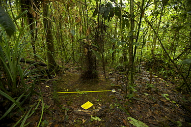 Bower of the Golden-fronted Bowerbird (Amblyornis flavifrons) with scientists' measuring tape and notebook, Foja Mountains, Papua, Indonesia, 2008. (taken during Conservation International Rapid Asses...