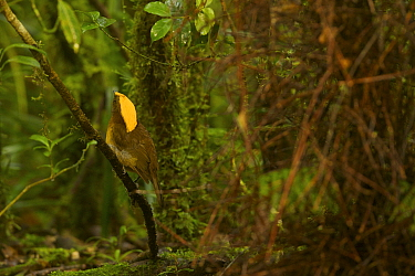 Golden-fronted Bowerbird (Amblyornis flavifrons) male at his bower. Foja Mountains, Papua, Indonesia, 2008. (taken during Conservation International Rapid Assessment Program expedition)