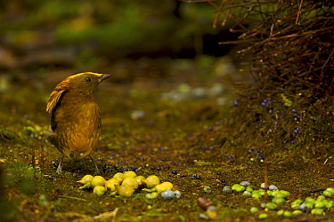 Golden-fronted Bowerbird (Amblyornis flavifrons) male at his bower, standing by his collection of berries. Foja Mountains, Papua, Indonesia, 2008. (taken during Conservation International Rapid Asses...