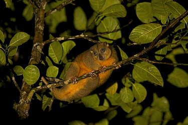 Ornate Cuscus (Phalanger ornatus) in the rainforest outside Labilabi, Halmahera, Indonesia. Endemic to North Moluccas (Halmahera, Morotai, and Batjan Islands) Indonesia. This species was discovered by...